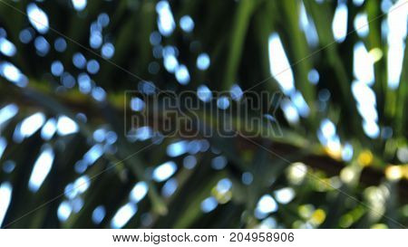 Blur background bokeh abstract of Palm fox tail leaf and the sky full frame.