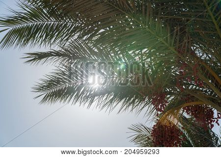 A look at the sun from under the date palm.