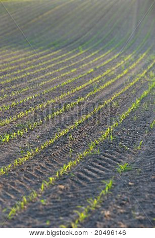 young wheat plants in a row