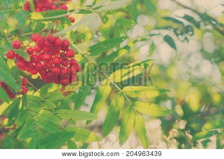 Rowan red berries and fresh green leaves, retro toned