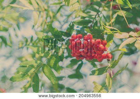 Rowan red berries and fresh green leaves with blue sky, retro toned