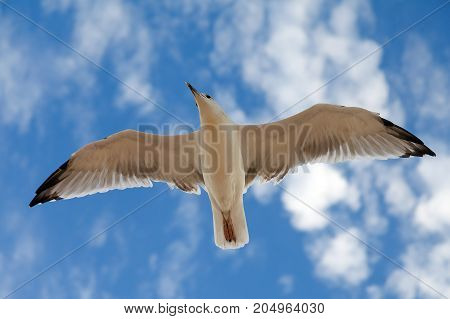big gull in blue sky and some clouds