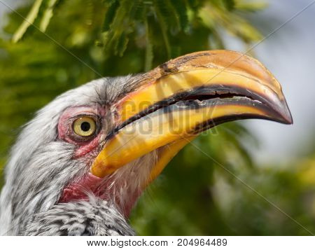 Closeup portrait of beautiful colorful Southern Yellow-Billed Hornbill bird with long beak, Botswana, Africa.