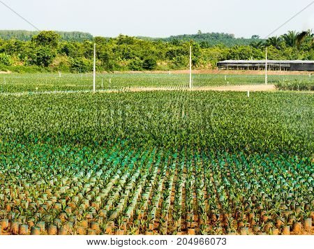 Agricultural. Oil palm plantation seedlings with bifid leaves at nursery with springer water in south of Thailand.