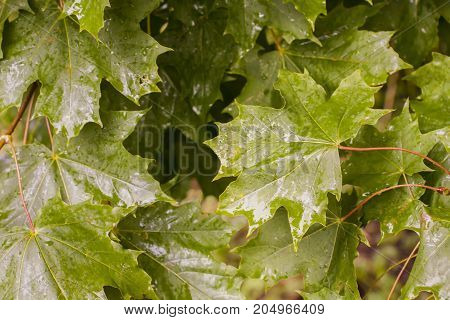 Green maple leavse on tree under the rain. Wet weather in autumn background in nature