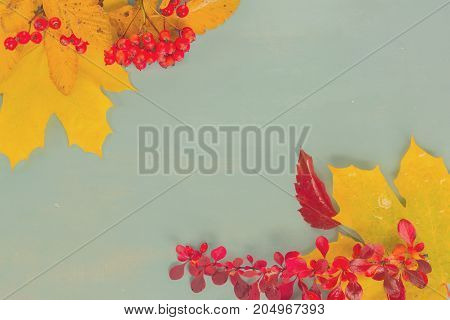 Fall yellow maple leaves and red berries with copy space on blue background, retro toned