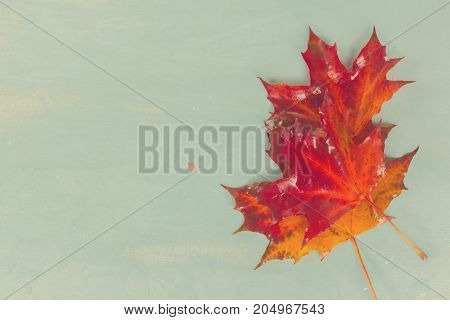 Fall red maple leaves on blue background, retro toned