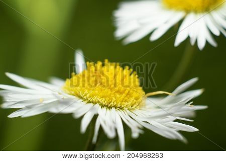 Forest Daisy In Summer