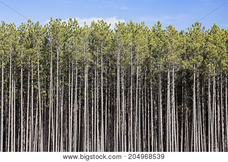 A dense stand of tall pines reaches toward a blue sky in the north woods of Michigan's Upper Peninsula.