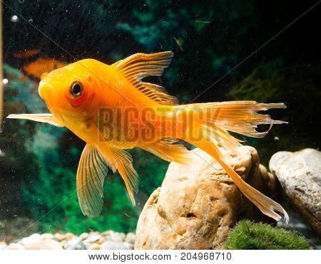 goldfish floating in an aquarium at home .