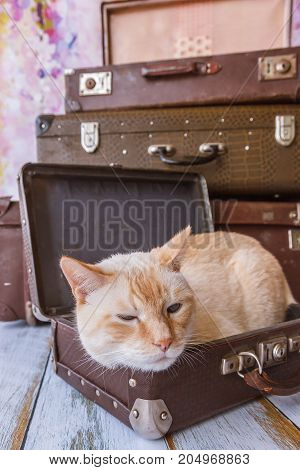 Thai Cat With Blue Eyes Sits Near Vintage Suitcases Pyramid