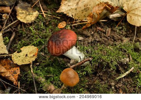 Mushroom russula on mossy ground in the forest
