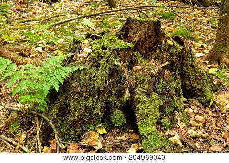 Old stump in the forest covered with green moss