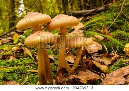 Mushrooms in the autumn forest after the rain