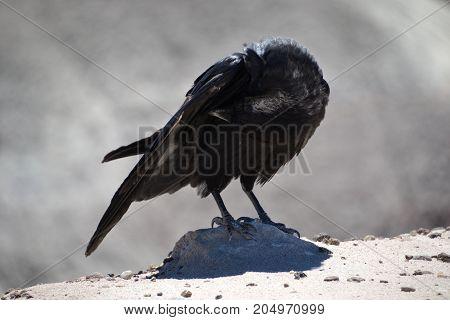 chihuahuan raven seen in Arizonas painted desert national park