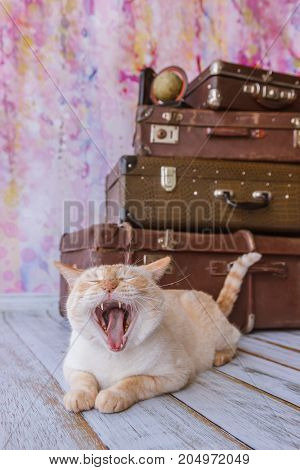 Big Cat Sits Near Vintage Suitcases Yawns