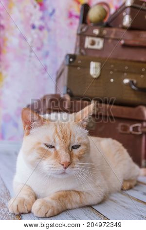 Big Cat Sits Near Vintage Suitcases