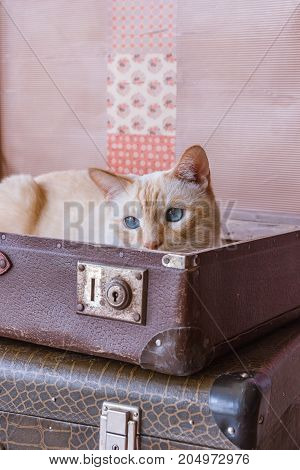 Cat With Blue Eyes Sits Inside Vintage Suitcases