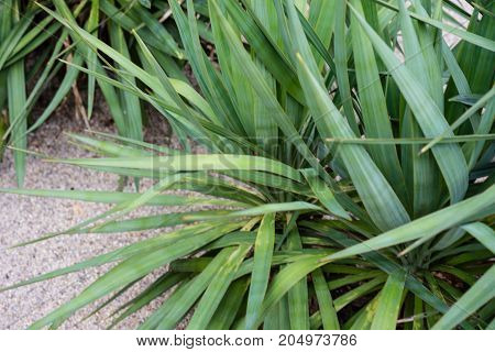 agavaceae yucca plant leaf side and front view green leaves with sand floor