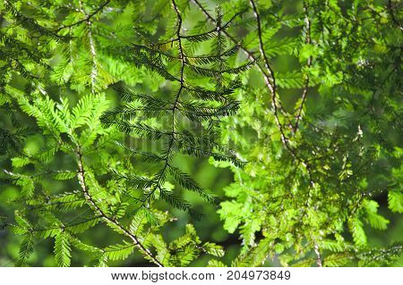 Redwood leaves in canopy, green tree background