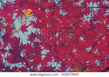 Fresh red maple leaves background on blue sky, retro toned