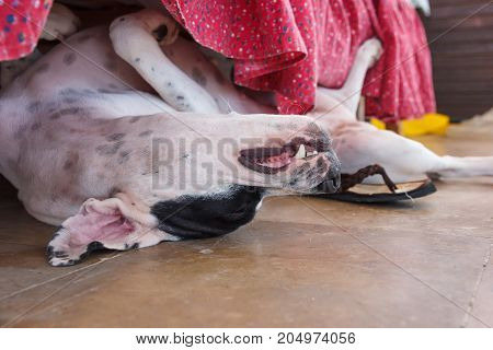 English Pointer White Dog In Black Dots Playful Lying On Tile Floor