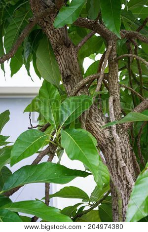 avocado plant persea americana lauraceae from mittle and south america close up leaf view