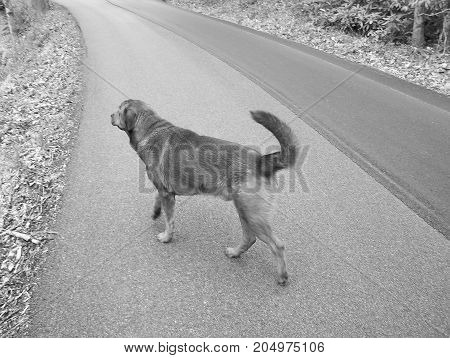 Black and white picture of golden retriever on a sunny day walking down a road