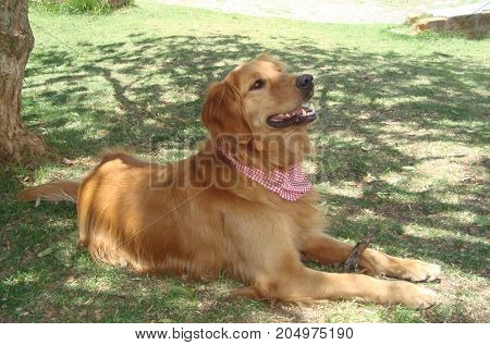 Golden retriever dog rests in the park