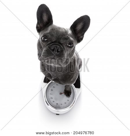 Dog On Scale , With Overweight