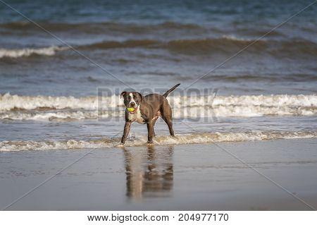 Pitbull terrier playing on the Fernandina beach