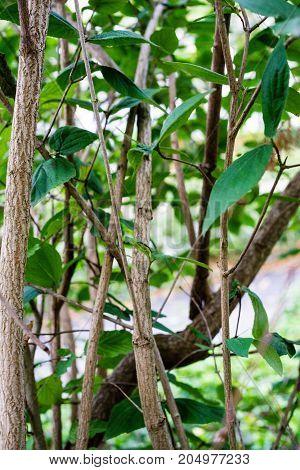 caprifoliaceae plant leaf close up view in garden