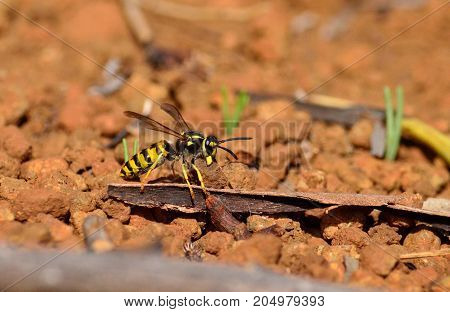 Vespula germanica, wasp carrying a stone between its jaws, coming from the underground nest