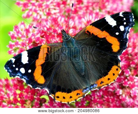 Close-up of beautiful red admiral butterfly on a pink summer flower in summer.