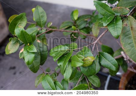 mickey mouse plant ochna kirkii ochnaceae leaf close up view with tree trunk