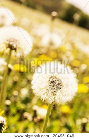 Close up photo of beautiful dandelions in spring meadow. Seasonal natural scene. Yellow photo filter .