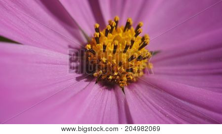 Close Up Purple Cone Flower Blossom In The Garden