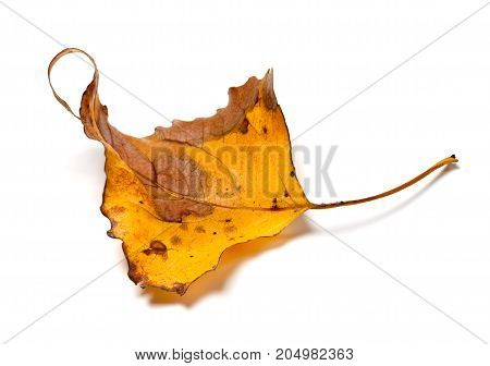 Autumn Yellow Dry Leaf Of Poplar