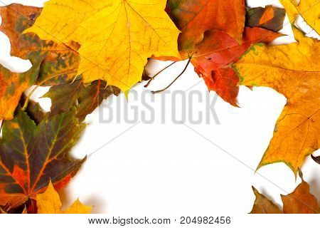Autumn Multicolor Dried Maple Leaves