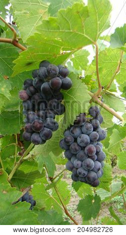 Bunches Of Blue Grapes. Blue Grapes With Leaves And Vine.