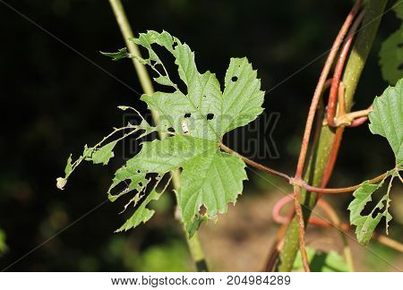green leaf with many holes and eaten parts damaged by insects