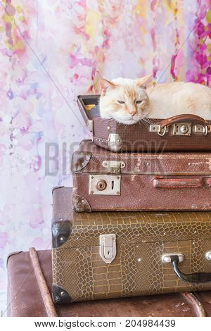 Thai Cat With Blue Eyes Sits Inside Vintage Suitcase Close-up