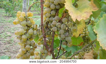 Bunches Of White Grapes