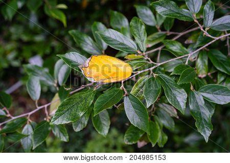 hamamelidaceae plant tree leaf leaves close up in garden dark leaf