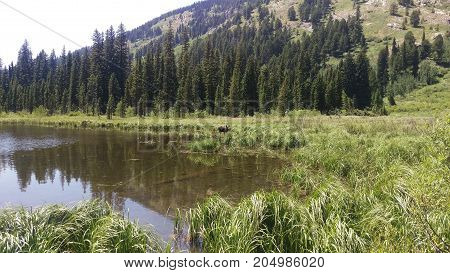 A young bull moose eating moss in Moose Pond in Grand Tetons National Park.