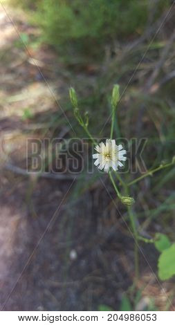 A beautiful macro shot of a small white and yellow flower found in Grand Tetons National Park.