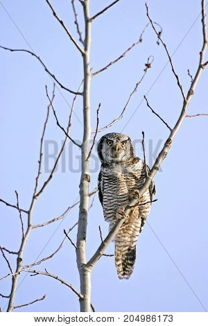 Hawk Owl perched on young poplar Tree hunting blue sky background.