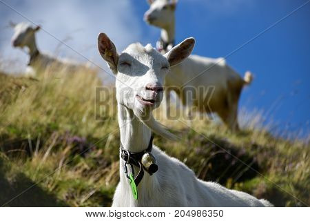 Goat grazing in a funny way on a hill its goatee waving in the wind with more goats scattered in the background out of focus