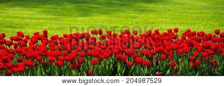 Red Color Tulip Flowers In The Garden