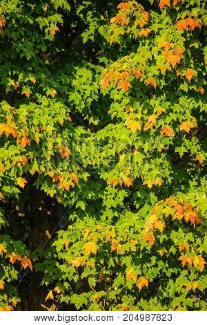 Wisconsin maple tree just starting to change color in September